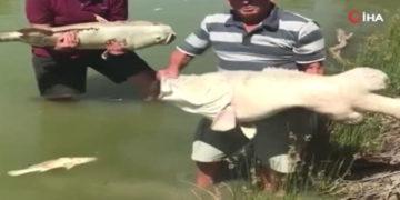 Avustralya'da yüz binlerce balık telef oldu