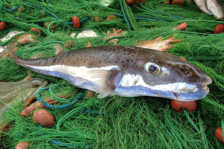 Balon balığı, Ege ve Akdeniz'i istila etmeye başladı